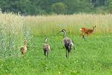 Crane family foraging... in company